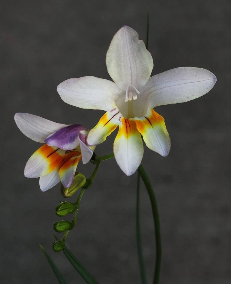 Freesia fucata ... ( Photo de : Frank Tromp )