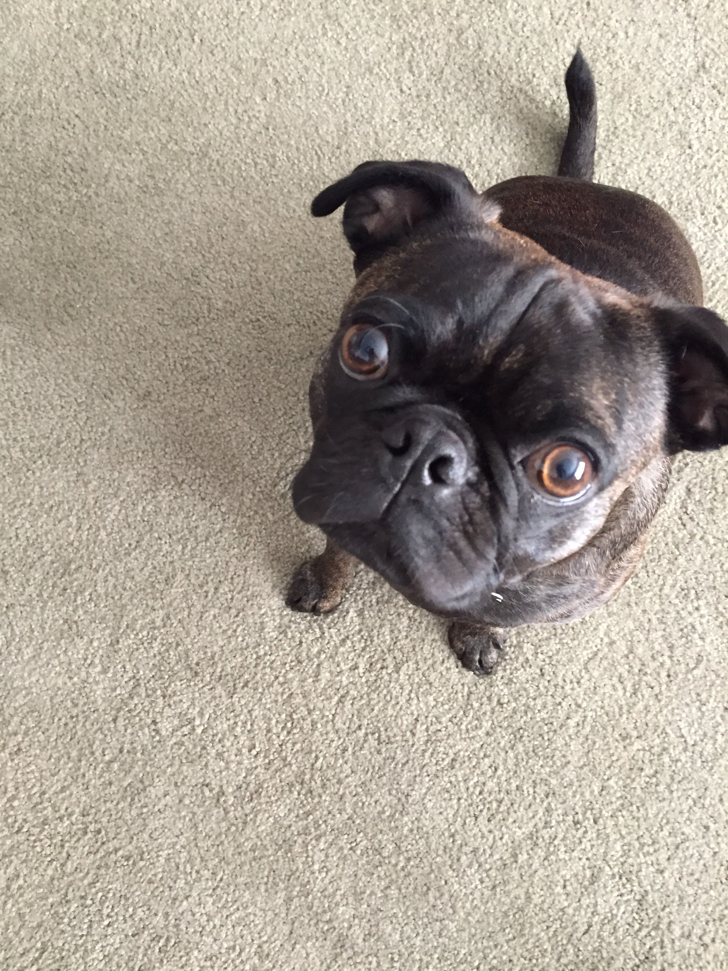 So Cute Mix Of Pug And Boston Terrier Also Known As My Puppy