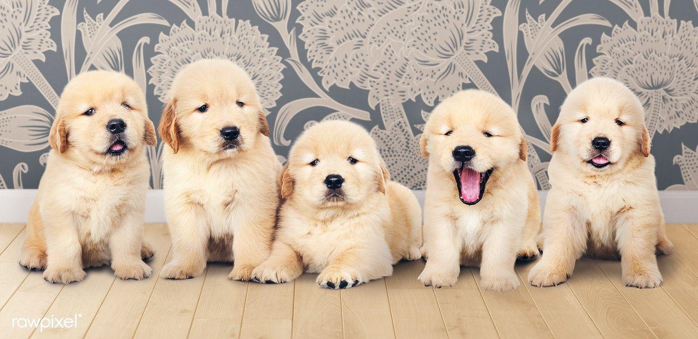 Download Premium Image Of Portrait Of Five Adorable Golden Retriever Golden Retriever Puppy Portraits Baby Dogs