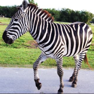 Beautiful Zebra I photographed at Lion Country Safari in Florida, 12/11.