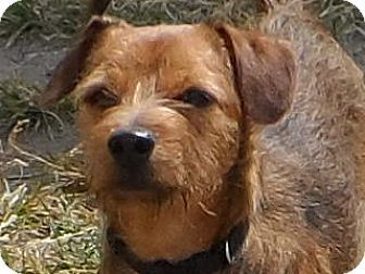 Federal Way Wa Border Terrier Dachshund Mix Meet Timmy
