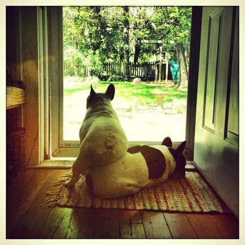 A French In Need Is A French Indeed French Bulldog Rescue
