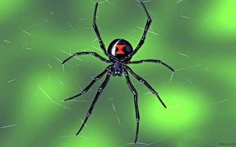 تفسير حلم العنكبوت الأسود Spider Black Widow Spider Widow Spider