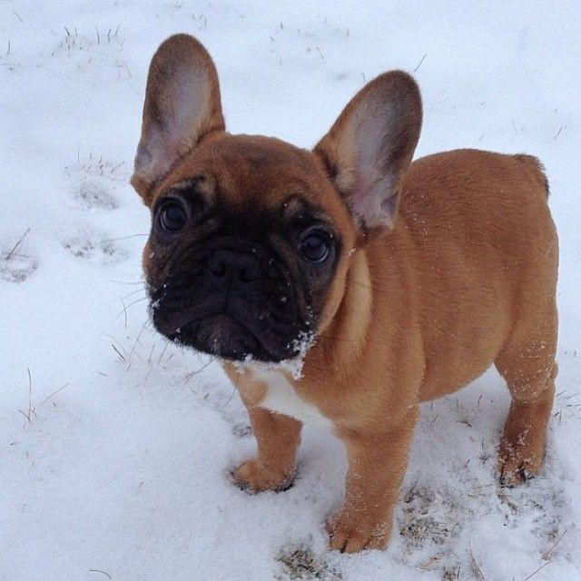 Frolicking In The Snow Frenchie French Bulldog Bulldog French
