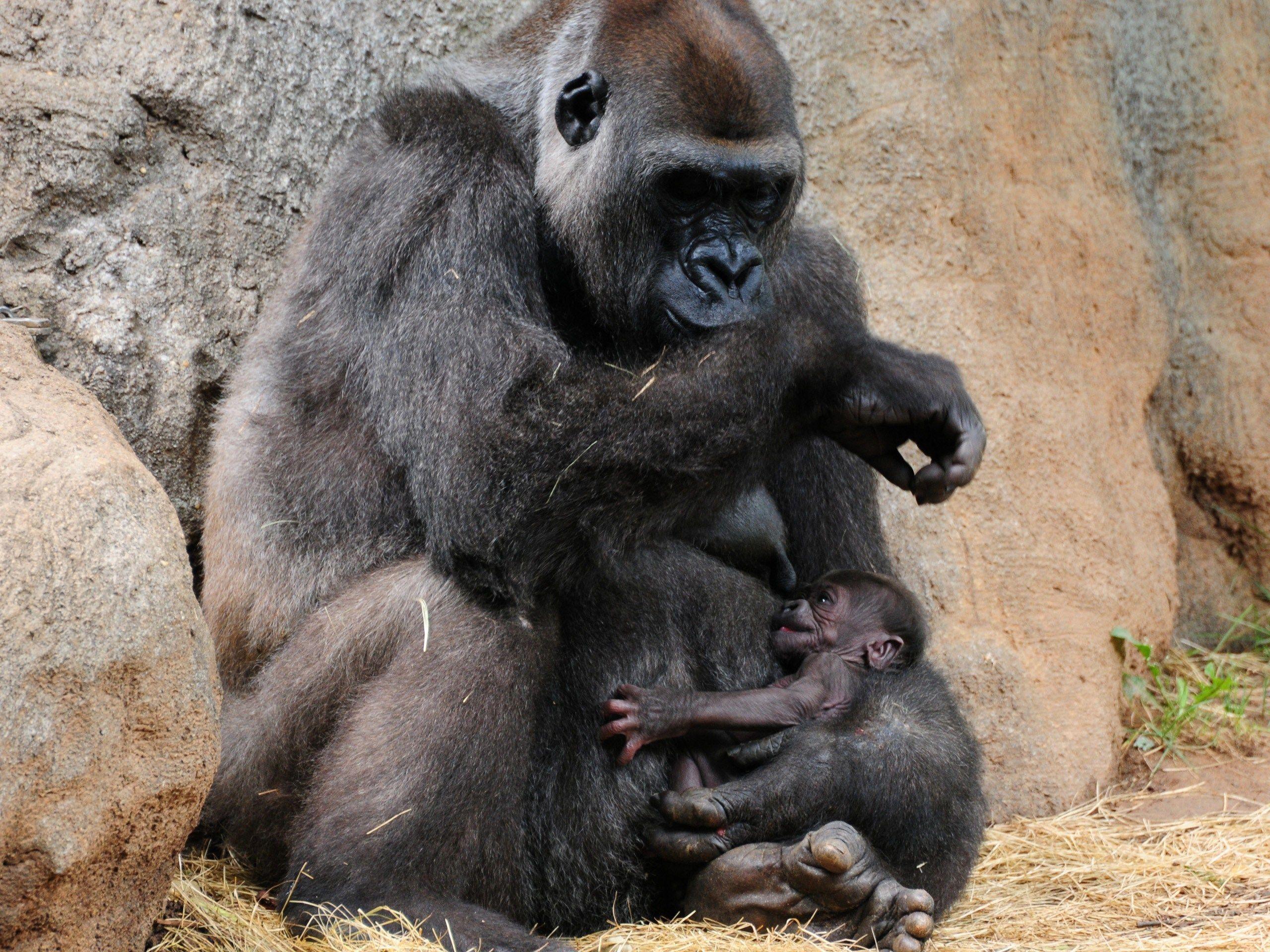 gorilla pik pics