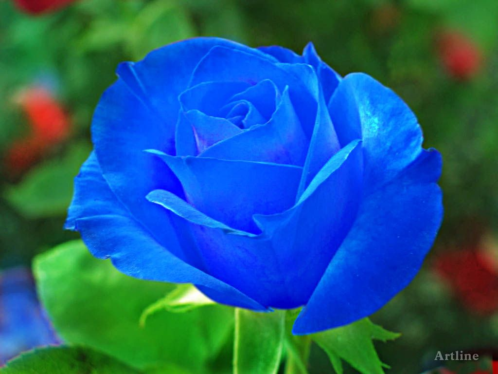 Natural Blue Roses | blue rose with grreen leaves lovely ...