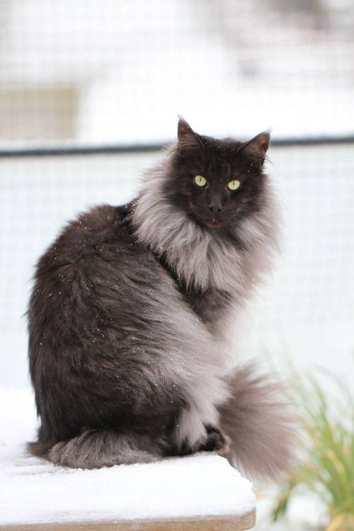 GIP CH*White Goddess's Thunder Cat, black smoke Norwegian ...