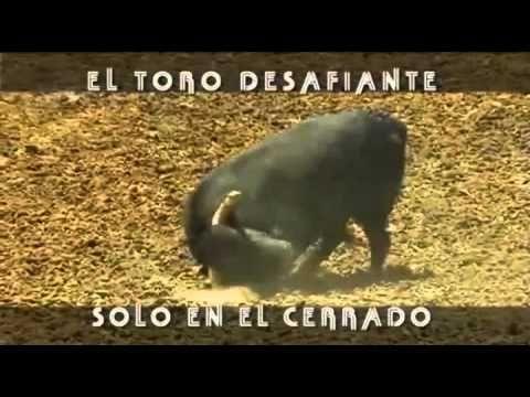 El Toro agresivo - Toros para todos - YouTube