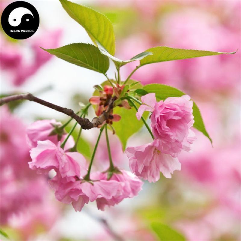 Buy Sakura Tree Seeds 60pcs Plant Prunus Serrulata For Cherry Blossoms Tree Seeds Sakura Tree Plants