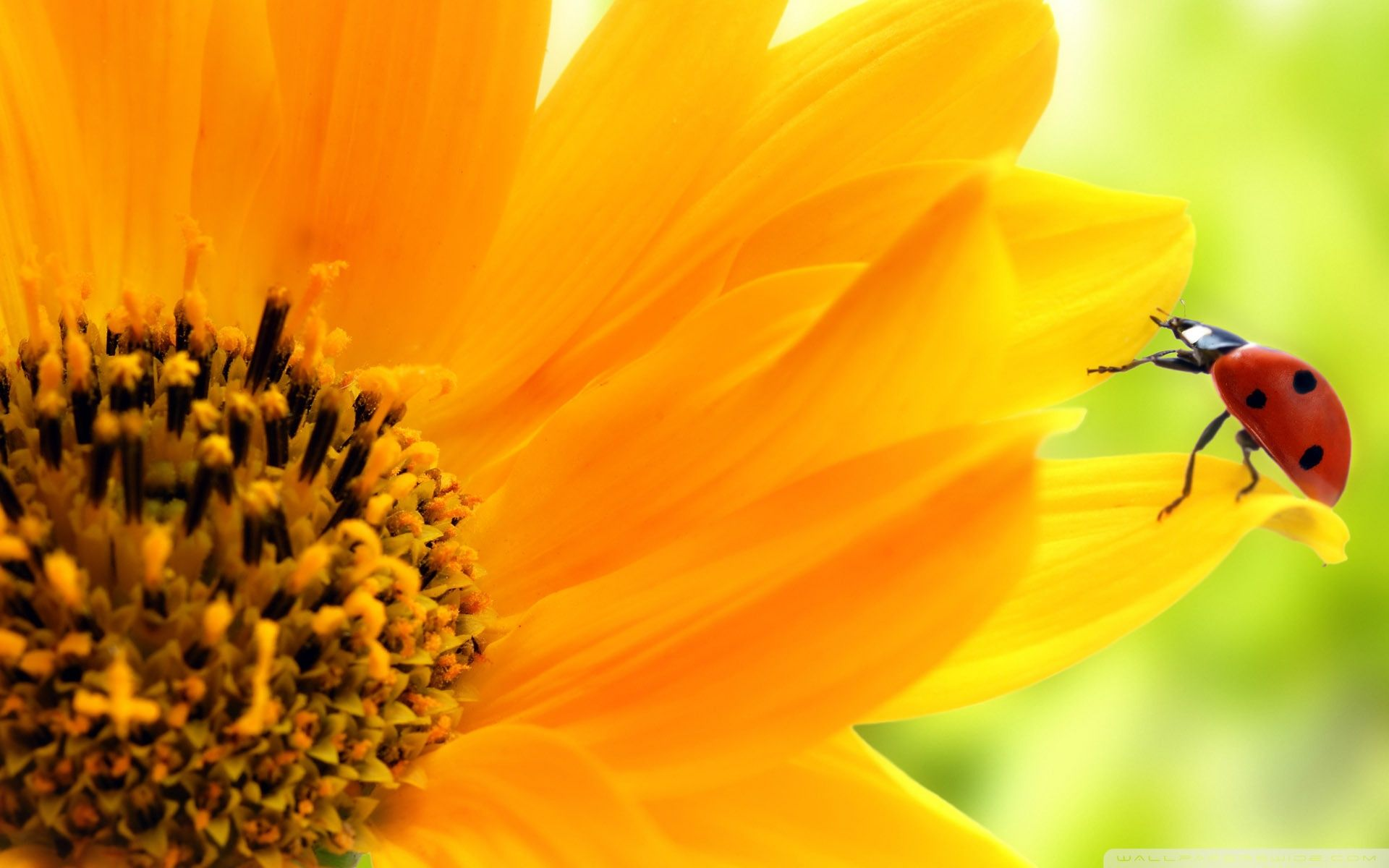 sunflower and ladybug hd desktop wallpaper : high definition