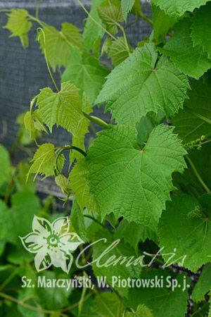 winorośl 'Green Wonder'