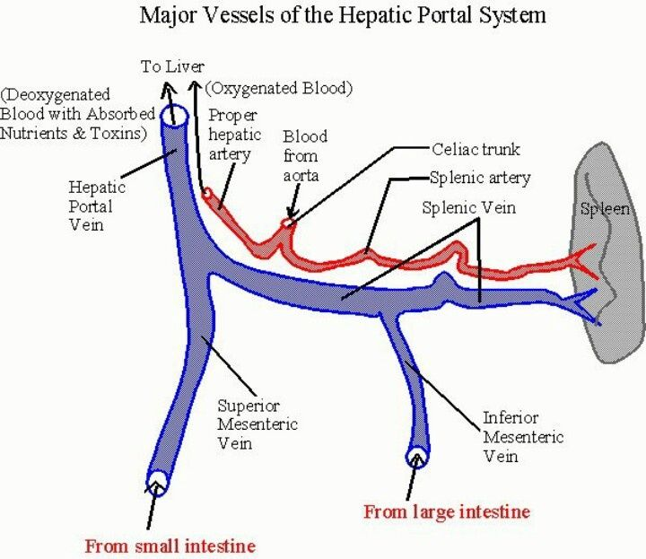 Formation Of Portal Vein Google Search Usmle And Comlex Portal