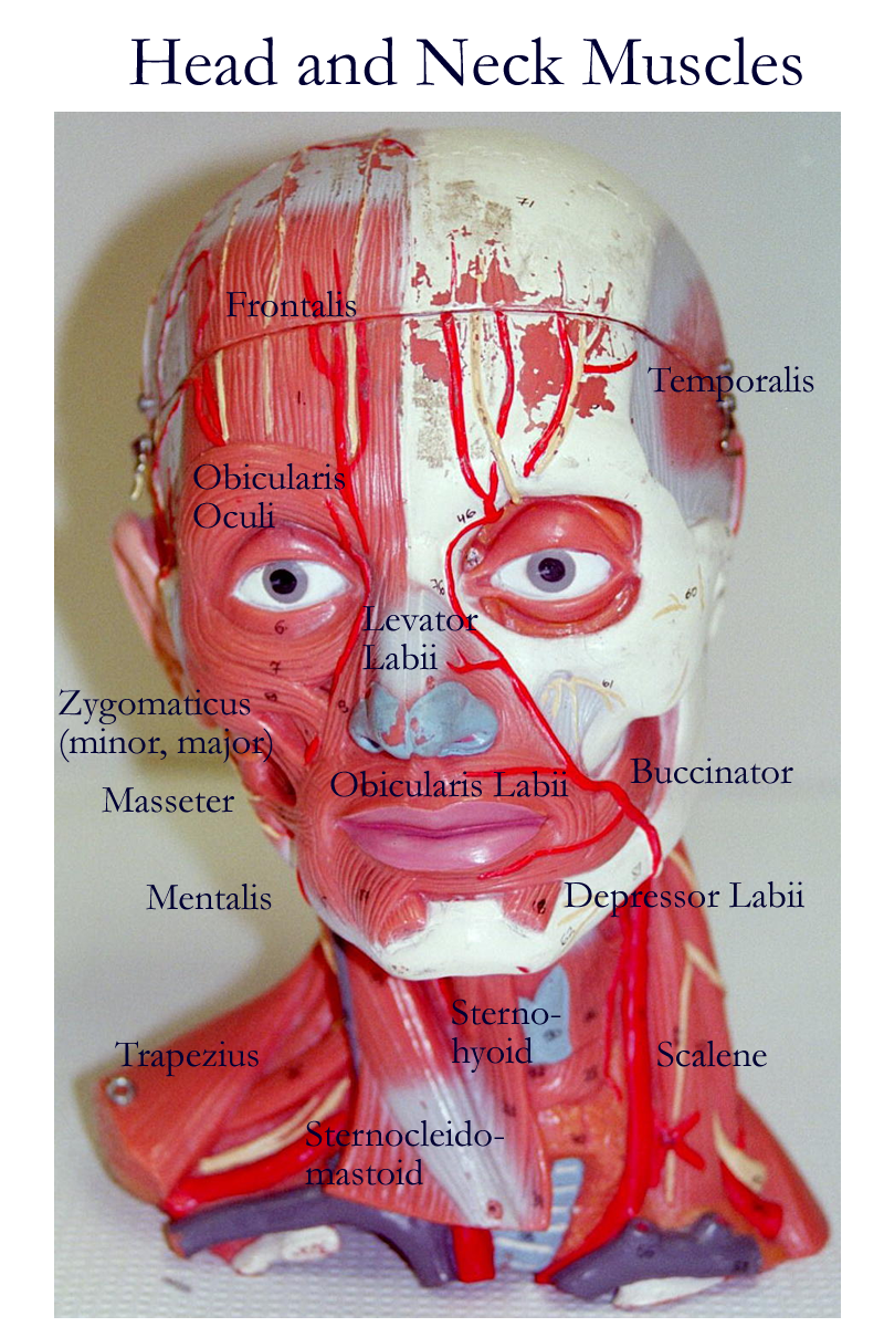 somso+arm+muscle+model+labeled | Head and Neck : Anterior, Lateral ...