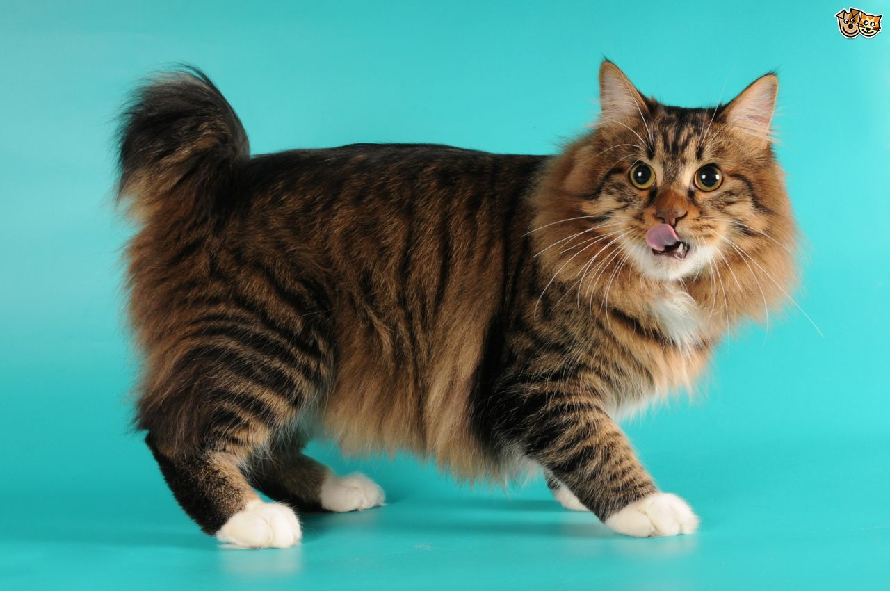 Top Ten Cute American Cat Breeds
