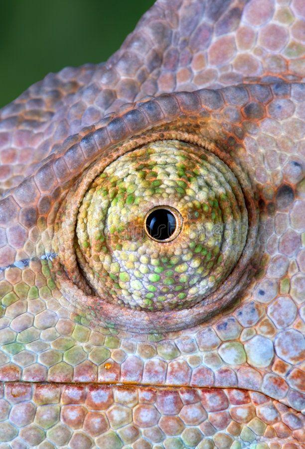 Chameleon Eye stock image. Image of lizard, color, green - 5145627
