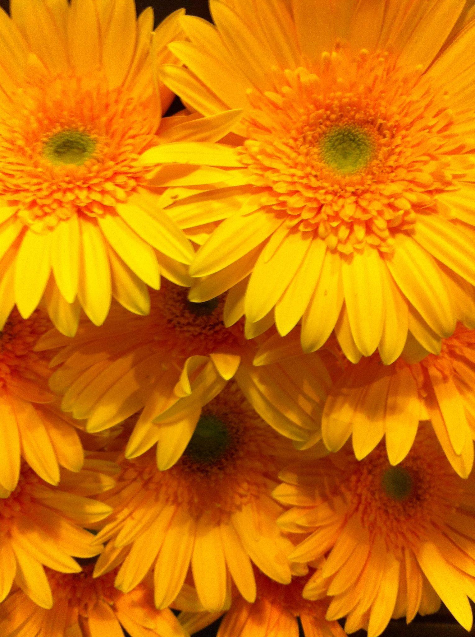 Gerberas I Love Gerberas Pinterest Gerbera Flowers And Pretty
