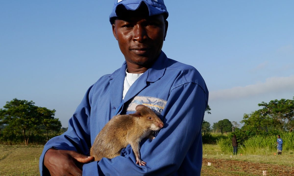 A patrol of rookie rats show they are man's best friend after being trained to scent TNT on minefields