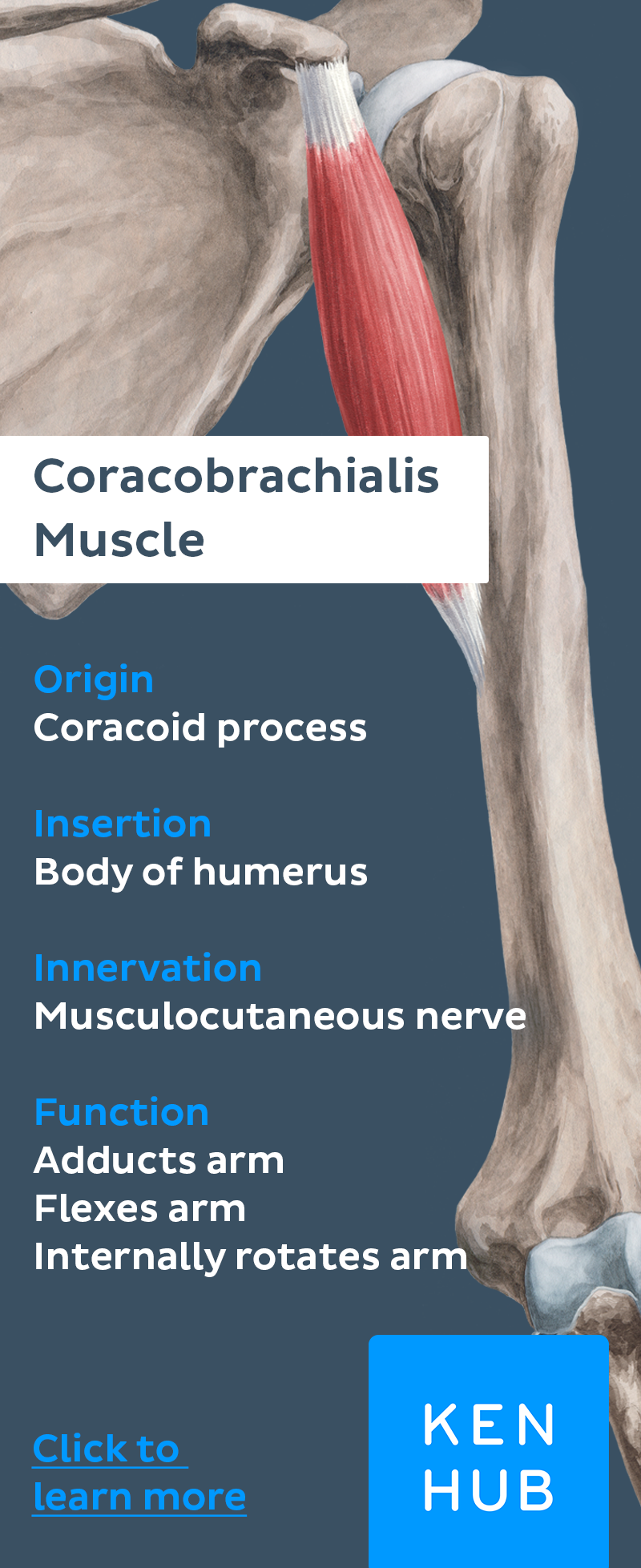 This #muscle is long and slender. It originates from the coracoid ...
