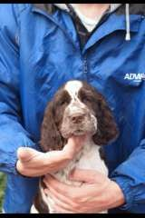 Quality Springer Babies Ready To Go Puppies For Sale Lethbridge Victoria English Springer Spaniel Puppy English Springer Spaniel Spaniel Puppies For Sale