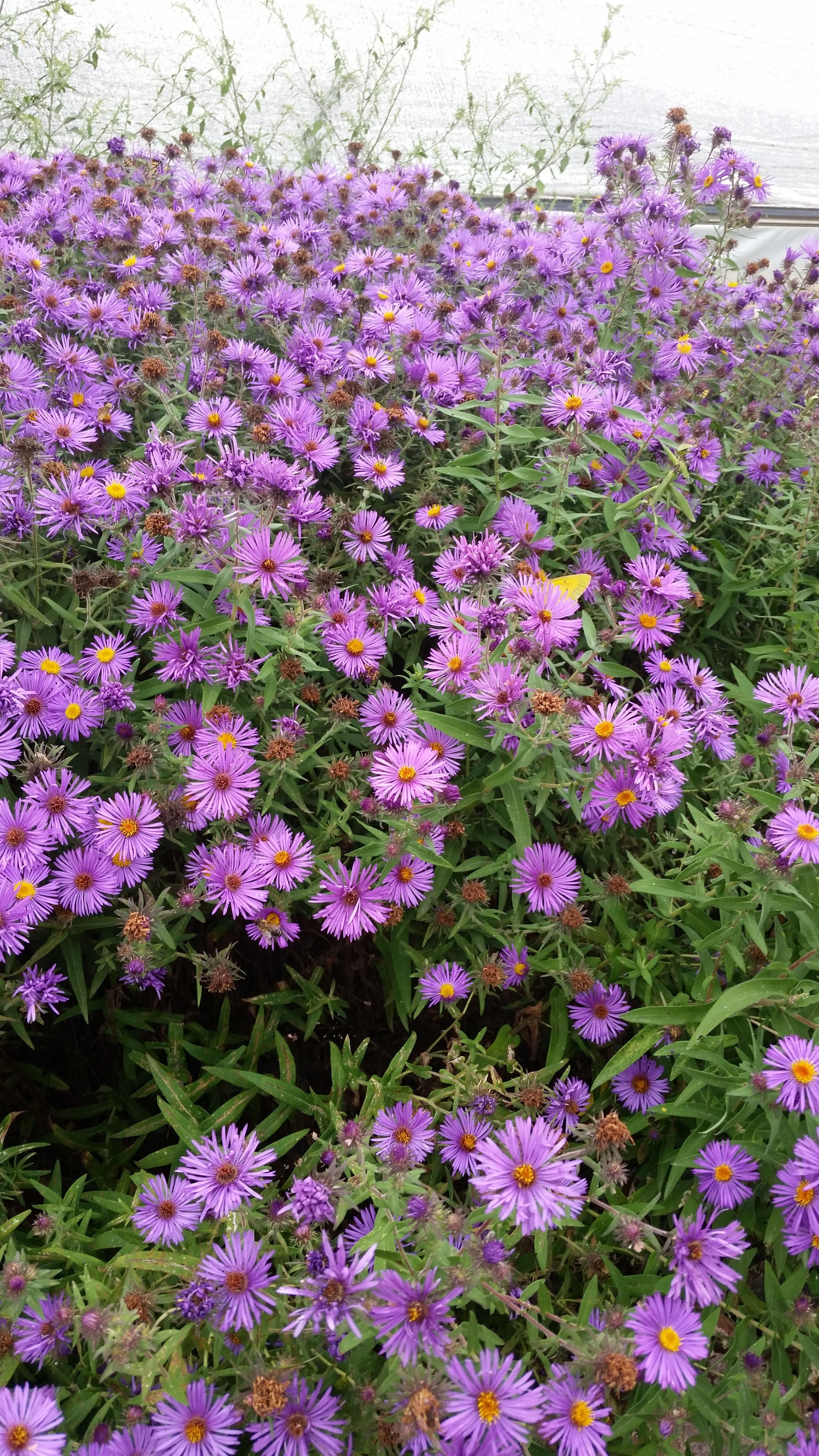 New England Aster Syphyotrichum Novae Angliae Is A Tall Clump Forming Perennial Native This Tall Up To 6 Feet Aster Flowers Perennials Plants Perennials