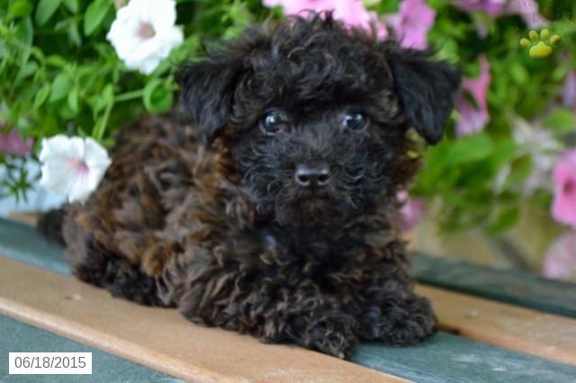 Bichapoo Puppy For Sale In Ohio Buckeyepuppies With Images Puppies For Sale Puppies Poodle Puppy