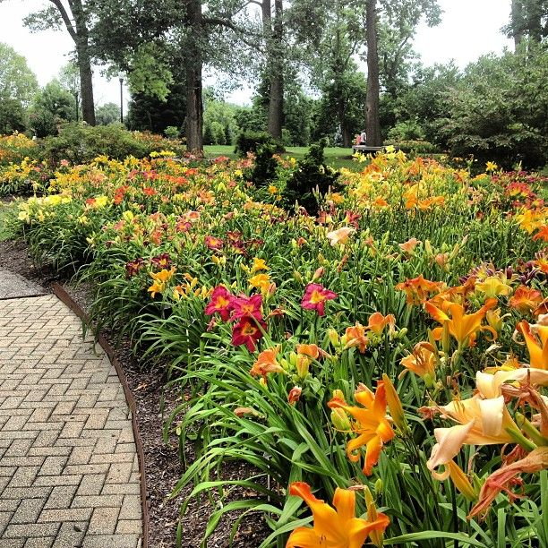 Image result for daylilies in a garden