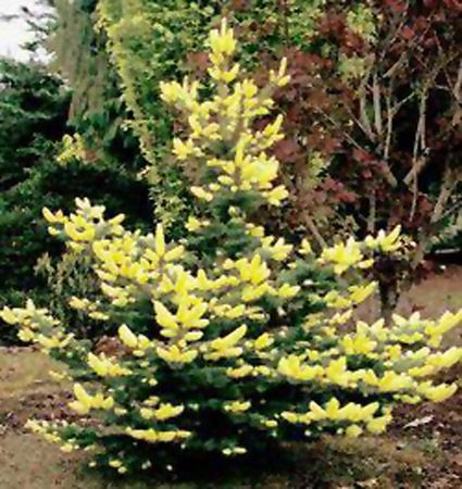 Picea pungens 39 gebelle 39 s golden spring 39 conifers for Unusual small trees