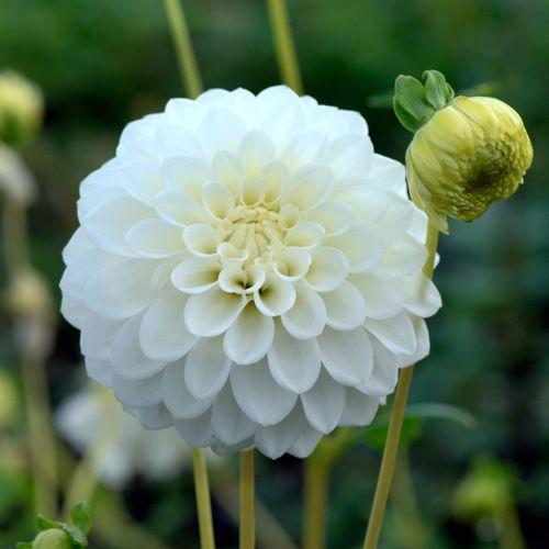 DAHLIA 'Petra's Wedding' (Dahlia pompon) : Vivaces originaires du Mexique et d'Amérique centrale. Les différentes formes de fleurs et leurs sublimes coloris font du Dahlia un complément de décor indispensable aux massifs d'été et d'automne. Planter dans un sol riche et bien drainé, enterrer le tubercule sous 10 à 15 cm de terre. Dahlia pompon (fleurs doubles, sphériques, pétales incurvés). Fleurs blanches.
