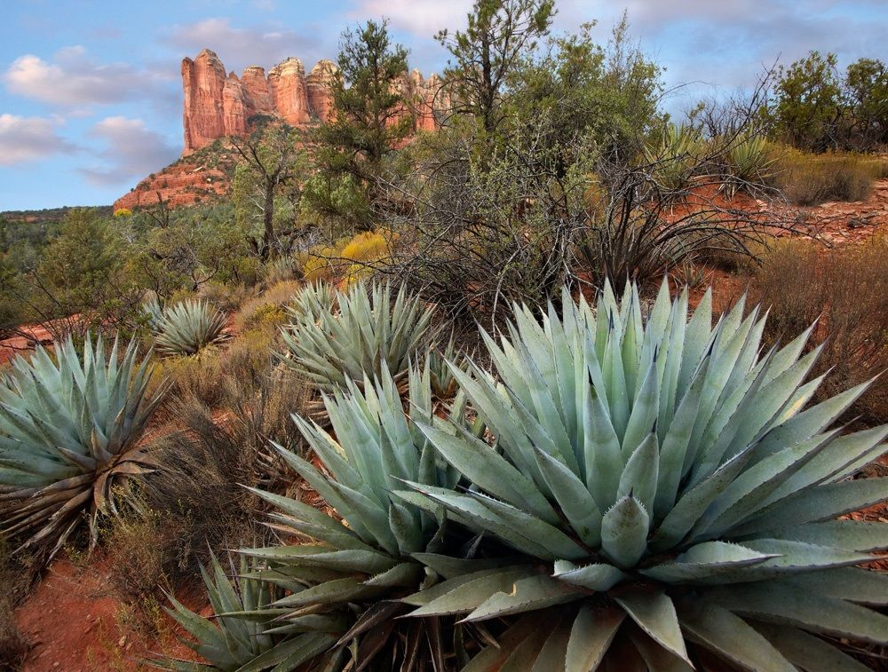 Agave and Coffee Pot Rock near Sedona, Arizona Potted
