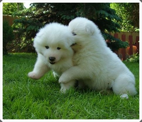 Samoyed Puppies For Sale Adelaide Samoyedpuppies Net Samoyed Puppy Samoyed Puppies For Sale Puppies For Sale