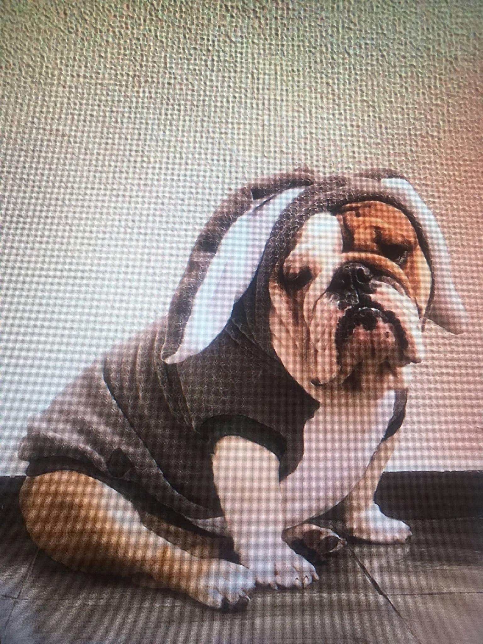 Cutest Easter Bunny Ever Adorable English Bulldog Photo Pets
