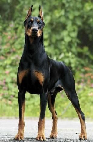 Doberman Pinschers Are Favorite Pets In Many Families They Are