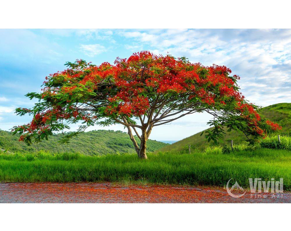 Flamboyant Tree Print matted landscape print red tree ...