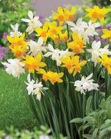 limoncello mix daffodils