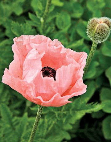 Enchanted garden garden stuffs pinterest flowers garden and pink poppy got this seed at the seed exchange today sooo pretty i cant wait for spring mightylinksfo
