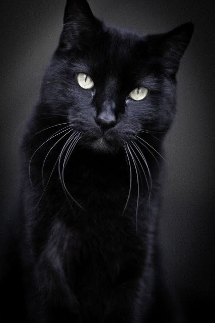 Handsome Black American Short Haired Cat Omaha With Images
