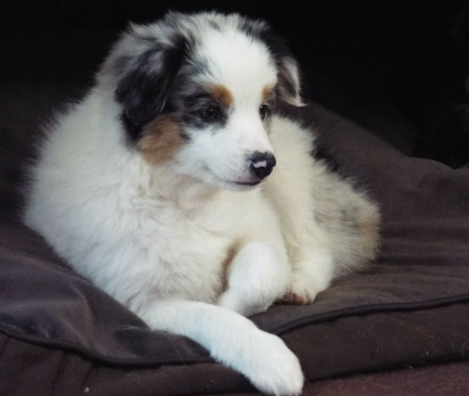 Toy Mini Australian Shepherd Pups For Sale Co Tug Yurhart Aussie Puppies Mini Australian Shepherds Australian Shepherd