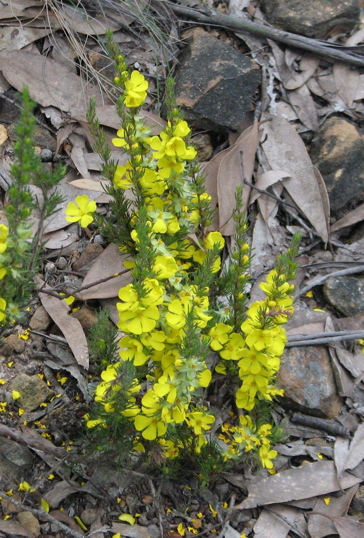 Pin on Australian Flowers