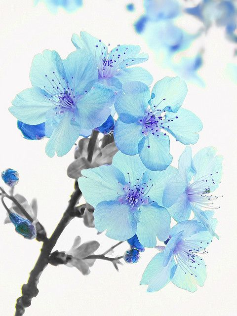 Planet One Blue Cherry Blossoms By Tanakawho On Flickr Blue Flower Tattoos Cherry Blossom Drawing Flower Drawing Blue cherry blossom wallpaper
