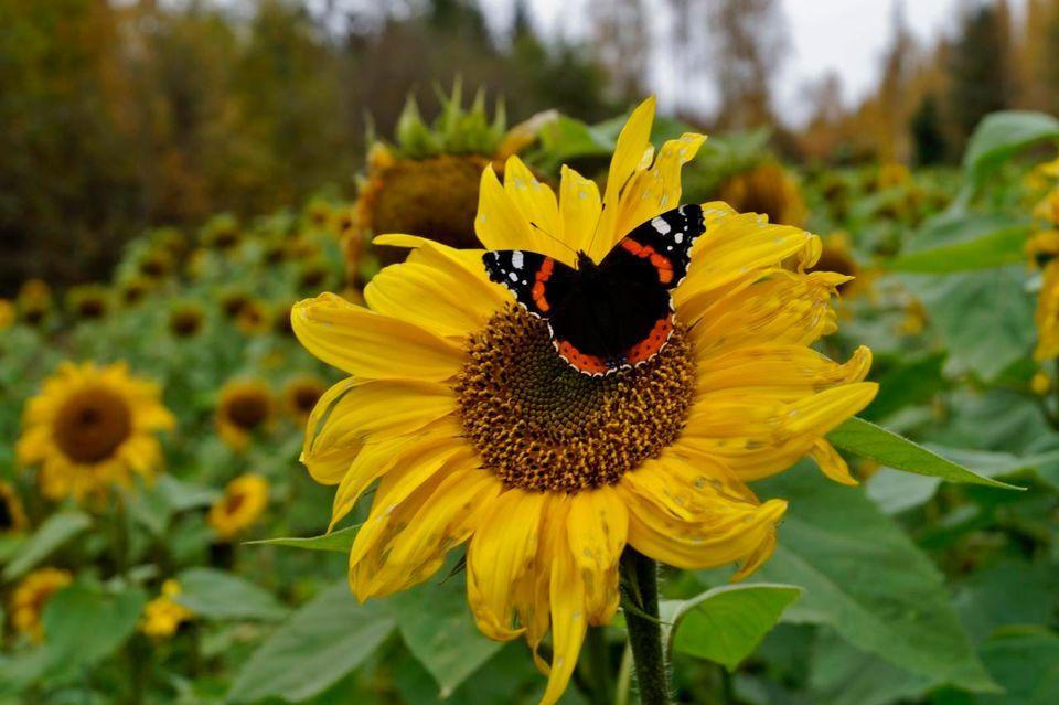 Sun Flowers in Korpilahti, 27.9.2016  |  Photo: Maarit Siitonen