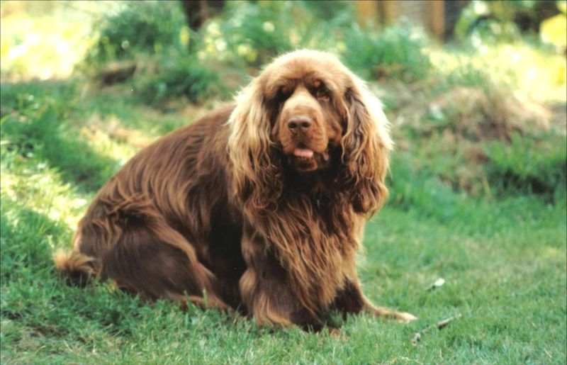 Pin By Anna Laura Page On Our Search For Patchy Sussex Spaniel Spaniel Puppies For Sale Dog Breeds