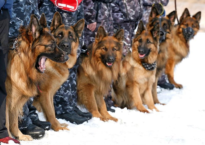 Police K9 Training In Russia Reuters German Shepherd Dogs