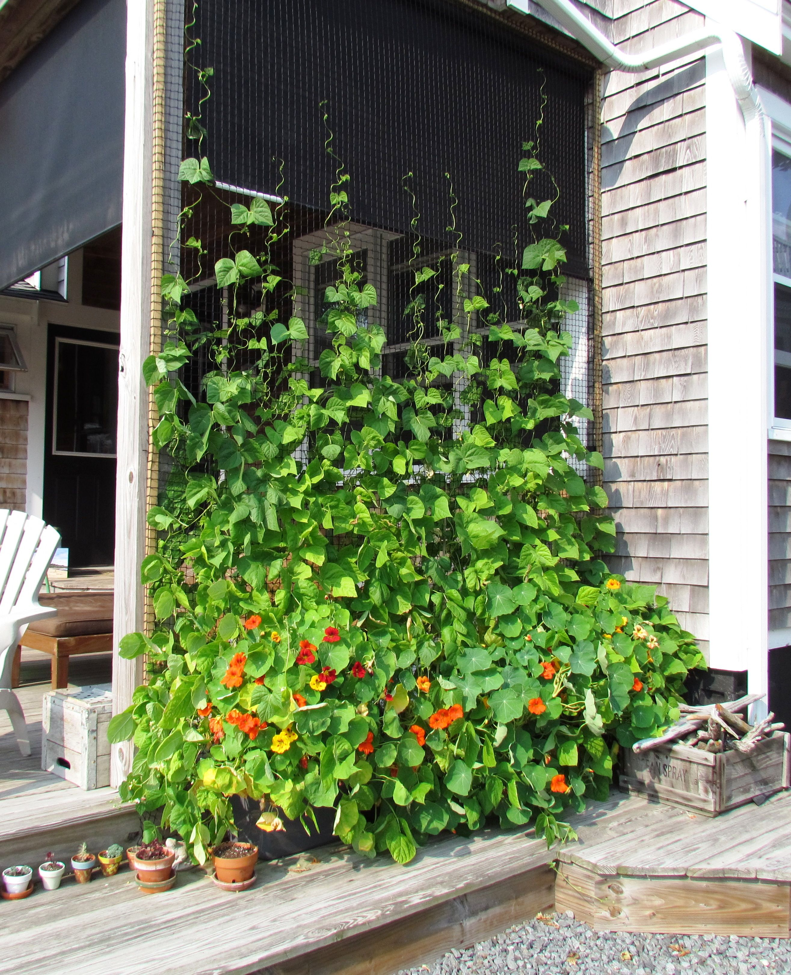 Beans and Nasturtiums growing out of four plastic bins vertically onto black fishnet - shade and privacy
