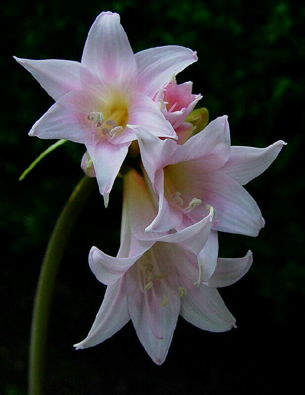 Stunning white belladonna lily bulbs for sale online