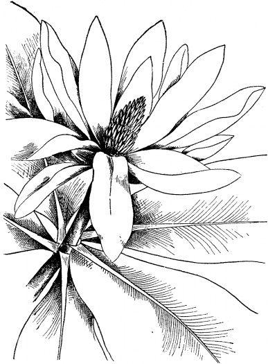 Detaillierte Malvorlagen für Erwachsene | Magnolia 4 Malseite ...
