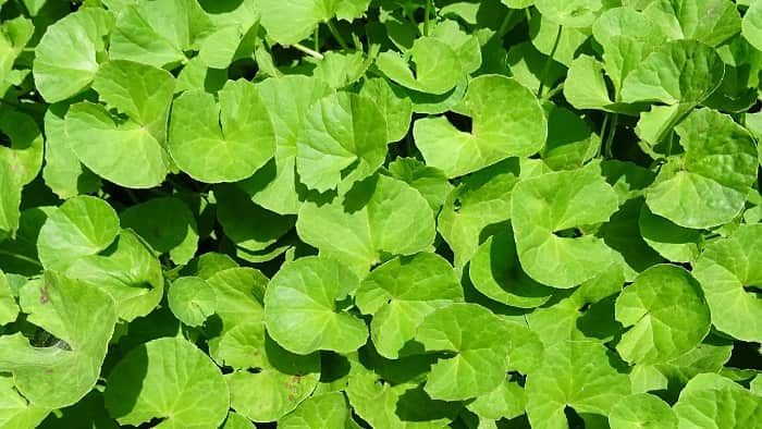 Propiedades De La Centella Asiática Ayurvedic Herbs Herbs Gotu Kola Benefits