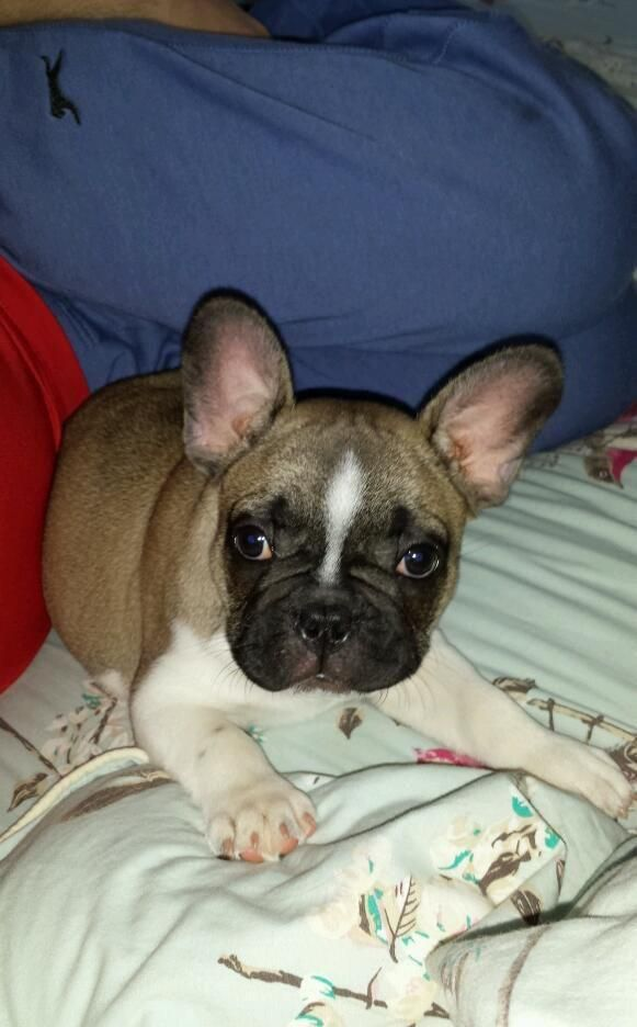 Post Free Classified Ads In United Kingdom Pied French Bulldog Pets For Sale French Bulldog