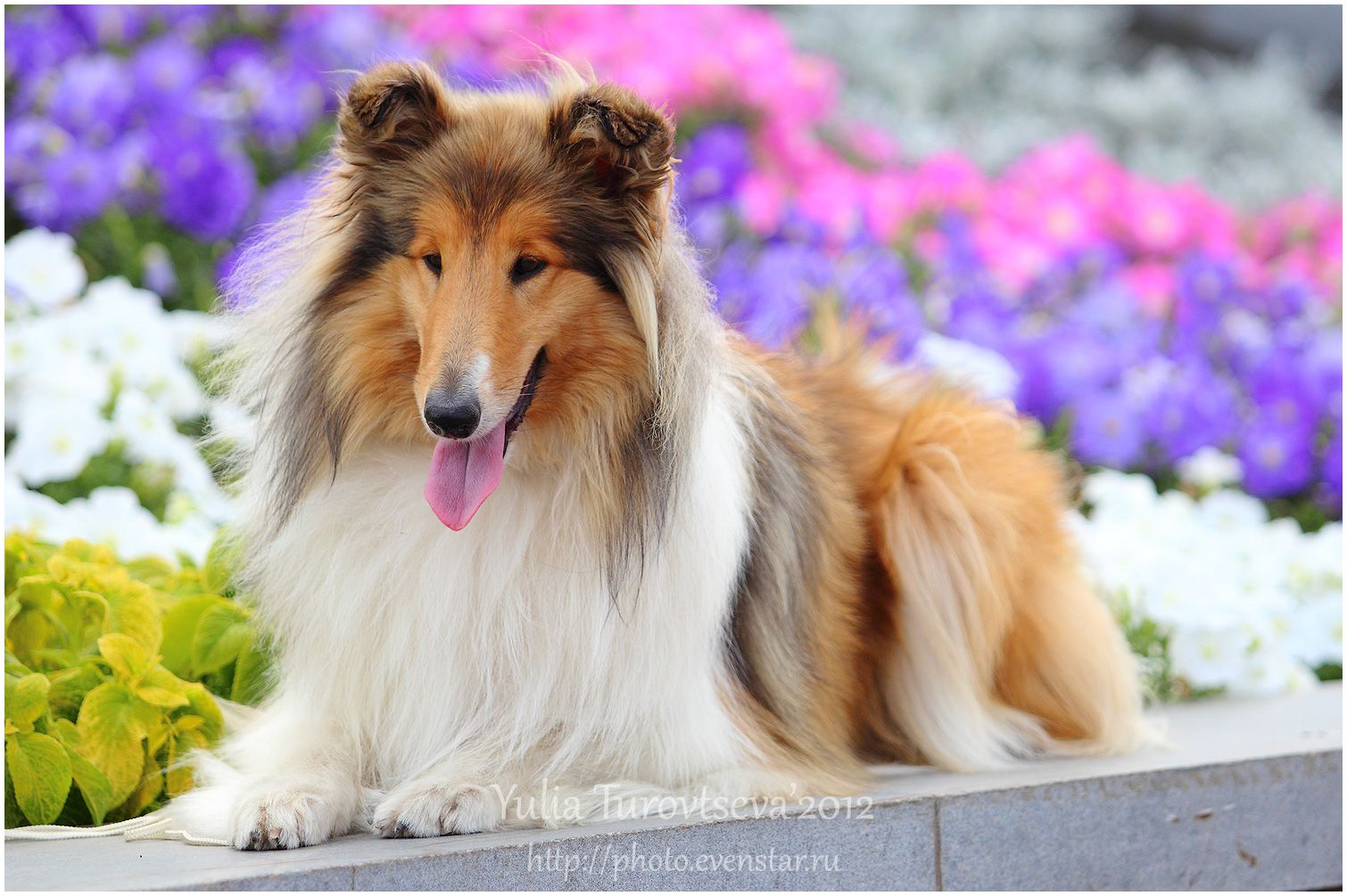 Collie Collie Rough Dog In Flowers Photo And Wallpaper