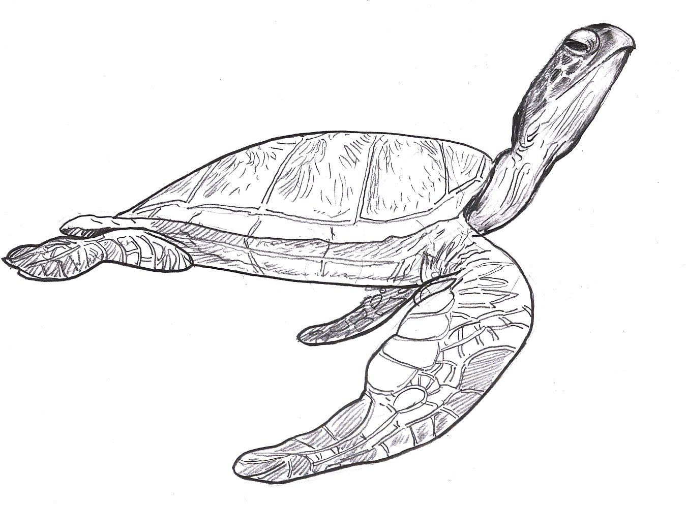 sea turtle drawing pictures SEA TURTLES SEA TURTLE Steve