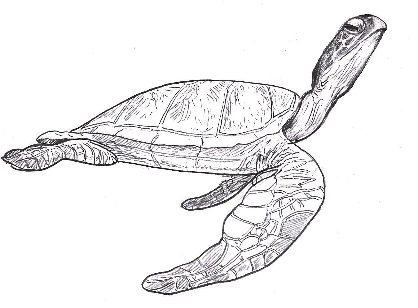 sea turtle drawing pictures | SEA TURTLES! SEA TURTLE ...